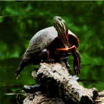 posing-painted-turtle