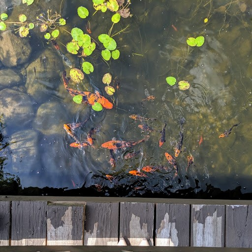 Koi fish swimming under a deck