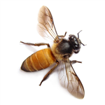 Picture of a bee