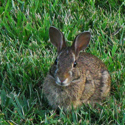 Picture of a Eastern Cottontail rabbit in grass.